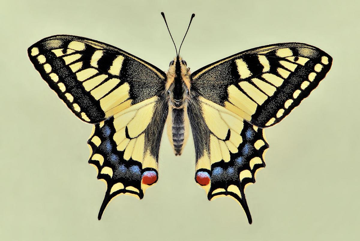 Butterfly Papilio machaon Linnaeus