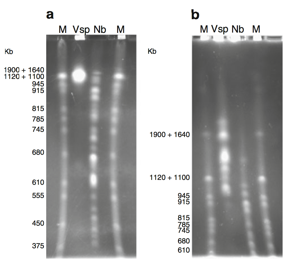 The karyotype of V. necatrix BM nuclear